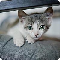 Domestic Shorthair Kitten for adoption in Westminster, California - Chandler