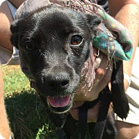 Dachshund/Pug Mix Puppy for adoption in El Cajon, California - Ladybug