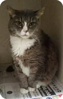 Domestic Shorthair Cat for adoption in North Haven, Connecticut - Thunder
