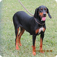 Black and Tan Coonhound Dog for adoption in Franklin, Tennessee - MINT JULEP