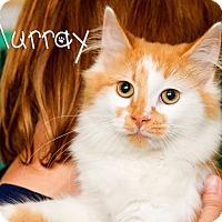 Domestic Longhair Cat for adoption in Somerset, Pennsylvania - Murray