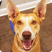 Labrador Retriever/Pharaoh Hound Mix Dog for adoption in Waggaman, Louisiana - Ember