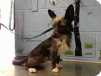 Chihuahua/Terrier (Unknown Type, Small) Mix Dog for adoption in San Bernardino, California - URGENT ON 10/20 San Bernardino