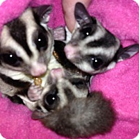 Sugar Glider for adoption in Phoenix, Arizona - Coachella (bonded to Ocotillo & Irvine)