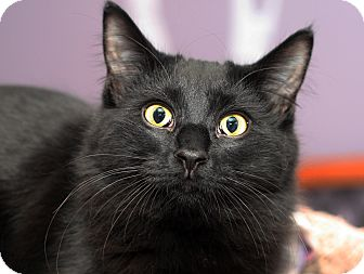 Domestic Longhair Cat for adoption in Royal Oak, Michigan - BUTTERCUP