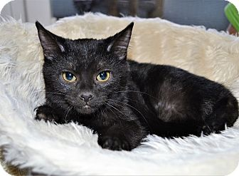 Domestic Shorthair Kitten for adoption in Michigan City, Indiana - Henry