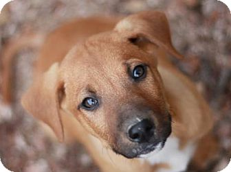 German Shepherd Dog/Mountain Cur Mix Puppy for adoption in Nanuet, New York - Aster