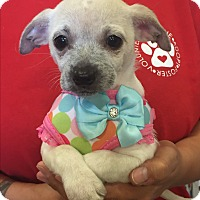 Adopt A Pet :: Dusty - Brea, CA