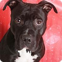 Pit Bull Terrier Mix Dog for adoption in Redding, California - Odin