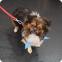 Adopt A Pet :: Tinsel - Sacramento, CA