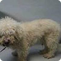 Adopt A Pet :: Brady Poodly - Woodland Park, NJ