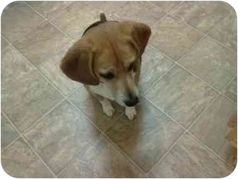 Beagle Dog for adoption in Portland, Oregon - Lucky