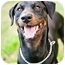 Photo 3 - Doberman Pinscher Mix Dog for adoption in Santee, California - Ranger