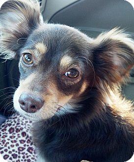 Papillon/Dachshund Mix Puppy for adoption in Vista, California - Adelaide