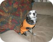 Chihuahua Dog for adoption in Seattle, Washington - Sweetie Pie