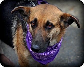 German Shepherd Dog Mix Dog for adoption in Sparta, New Jersey - Ginny