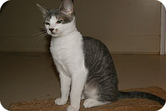 Domestic Shorthair Kitten for adoption in Trevose, Pennsylvania - Lavender