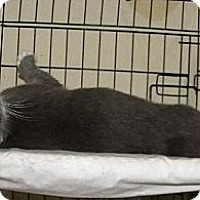 Domestic Shorthair Kitten for adoption in Miami, Florida - Spunky