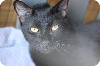 Domestic Shorthair Cat for adoption in Los Angeles, California - Charlie