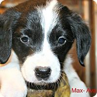 Adopt A Pet :: Max - Poughkeepsie, NY