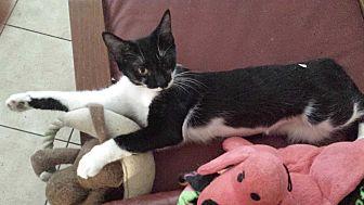 Domestic Shorthair Cat for adoption in Cerritos, California - Billie