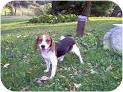 Beagle Dog for adoption in Pittsburgh, Pennsylvania - Cosmo