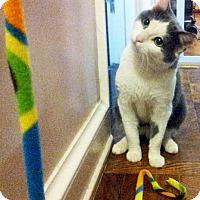 Adopt A Pet :: Cotton - New York, NY
