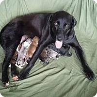 Adopt A Pet :: Che Puppy 3 - Andalusia, AL