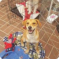 Adopt A Pet :: Butterscotch - Livermore, CA