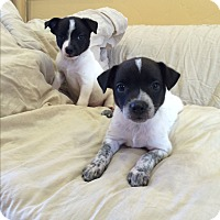 Adopt A Pet :: Coffee Puppies - Ridgway, CO