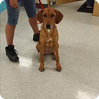 Adopt A Pet :: Charley - San Antonio, TX