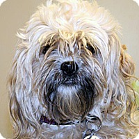 Shih Tzu Mix Dog for adoption in Wildomar, California - Toby