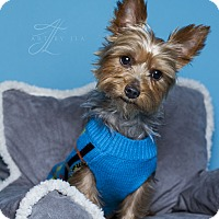 Yorkie, Yorkshire Terrier Dog for adoption in Baton Rouge, Louisiana - Max