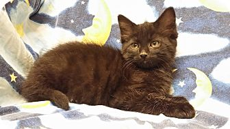 Domestic Mediumhair Kitten for adoption in Cannelton, Indiana - Boo