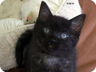 Domestic Shorthair Kitten for adoption in Republic, Washington - Fennel