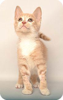 Domestic Shorthair Kitten for adoption in Wyandotte, Michigan - Klaus