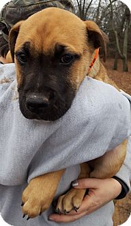Mountain Cur Mix Puppy for adoption in Clarksville, Tennessee - Mike