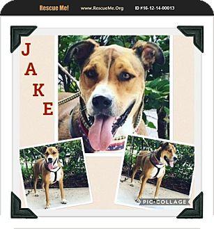 German Shepherd Dog/Labrador Retriever Mix Dog for adoption in Homestead, Florida - Jake