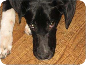 Great Dane/Labrador Retriever Mix Puppy for adoption in Indianapolis, Indiana - Josie