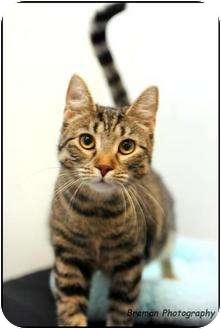 Domestic Shorthair Cat for adoption in Houston, Texas - Laverne