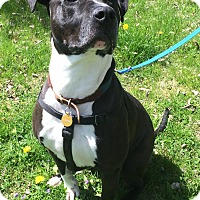 Adopt A Pet :: Goliath - Hilliard, OH