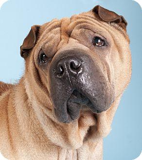 Shar Pei Dog for adoption in Chicago, Illinois - Abe