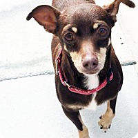 Dachshund/Chihuahua Mix Dog for adoption in San Diego, California - Cowboy