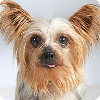 Adopt A Pet :: Acacia - Colorado Springs, CO