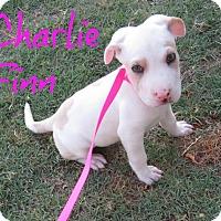 Adopt A Pet :: Charlie Finn - Scottsdale, AZ