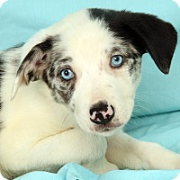 Adopt A Pet :: Natalie BC - St. Louis, MO