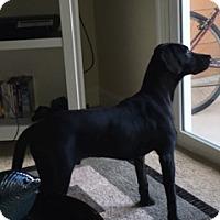 Labrador Retriever Mix Dog for adoption in Jacksonville, Florida - Tucker