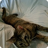 Domestic Shorthair Kitten for adoption in Virginia Beach, Virginia - Tigger