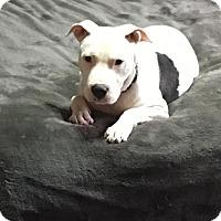Adopt A Pet :: Delilah - ST LOUIS, MO