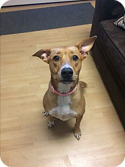 Labrador Retriever/Basenji Mix Dog for adoption in Manchester, Connecticut - Lacey in CT